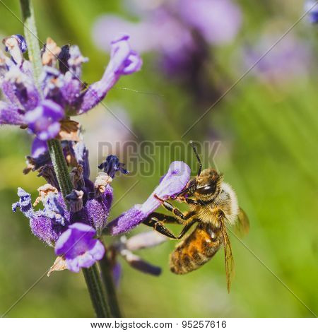 Worker Bee on Lupine