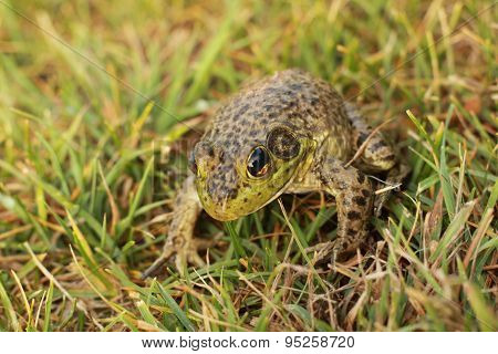 spotted frog crouching in grass