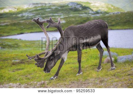 Norwegian reindeer