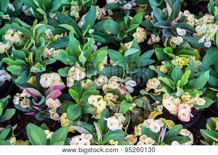 Crown of Thorns flower