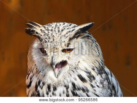 Angry Bubo Bubo Sibiricus