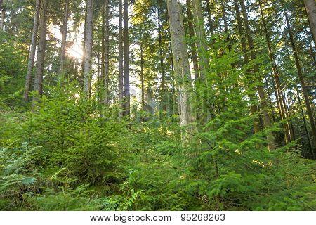 Forest, Sunrays