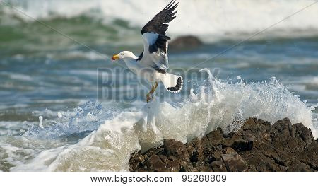 Greater Black-backed Gull..