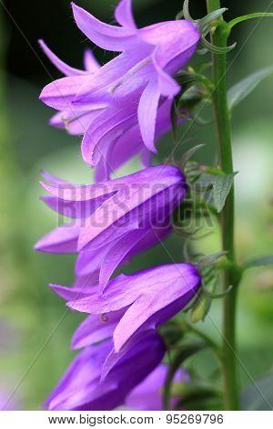 Campanula rapunculoides is a herbaceous perennial plan
