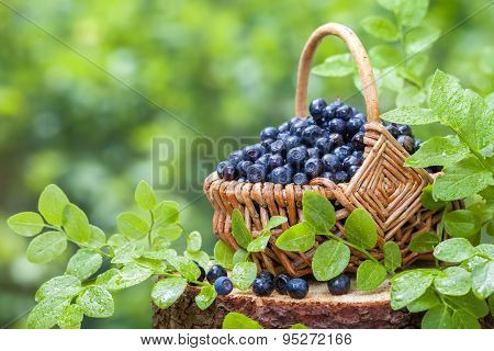 Basket With Blueberries On Stump In Wild Forest