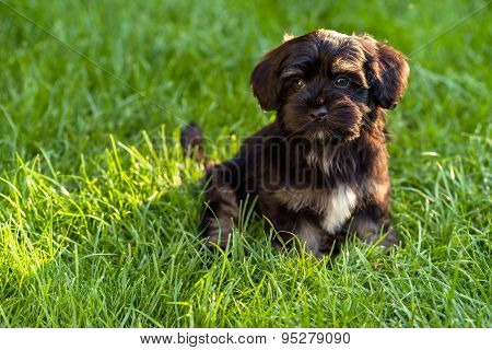 Beautiful Black And Tan Havanese Puppy Sitting In The Grass