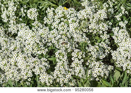 Small White Decorative Florets On A Flowerbed