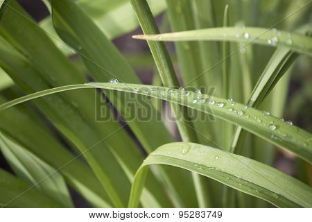 Green Leaves Of Grass