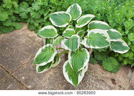 Hosta Planter Against A Green Foliage Background