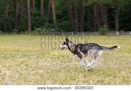 Puppy of Siberian Husky runs through the field.