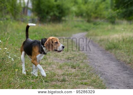 Beagle on a walk.