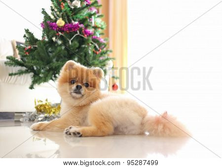 Pomeranian Dog Cute Pet In Home With Christmas Tree Decoration