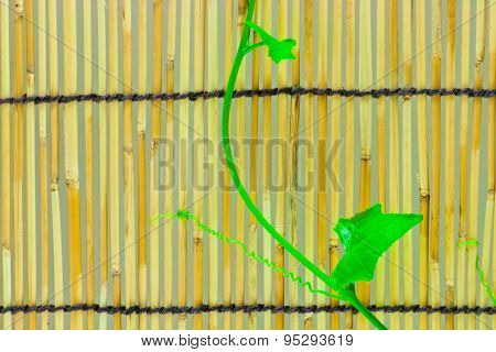 Ivy Shoots On  Japanese Bamboo Blind
