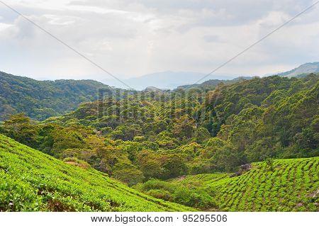 Tea Plantation, Sri Lanka