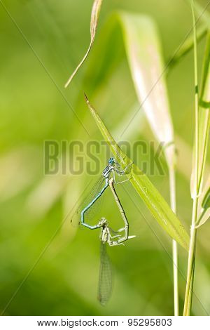 Mating two dragonflies