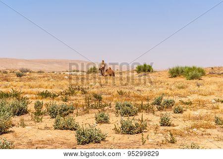 Arabian Camels.