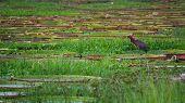 pic of wetland  - Closeup of river with Victoria Regias in Brazilian Panantal wetlands - JPG