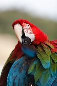pic of green-winged macaw  - Macaw sitting on branch and  cleaning their feathers - JPG