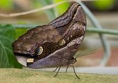 stock photo of rhino  - Rhino Butterfly with beautiful brown spotted wings - JPG