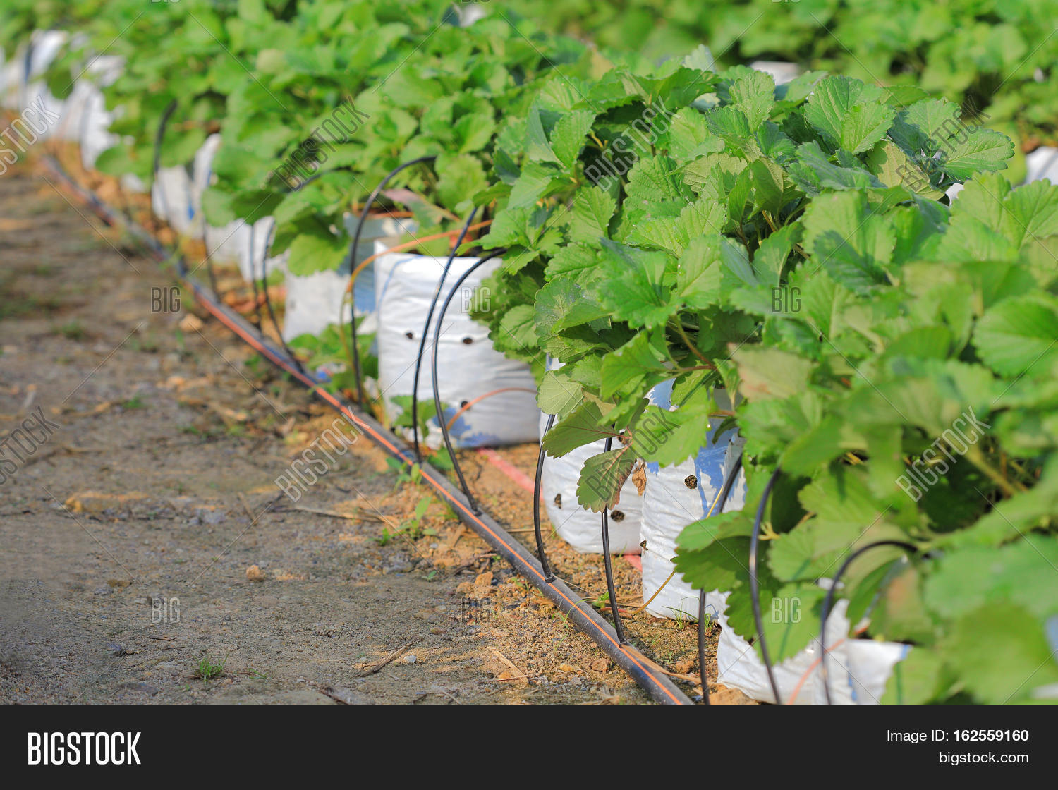 Drip Irrigation System Water Saving Image Amp Photo Bigstock