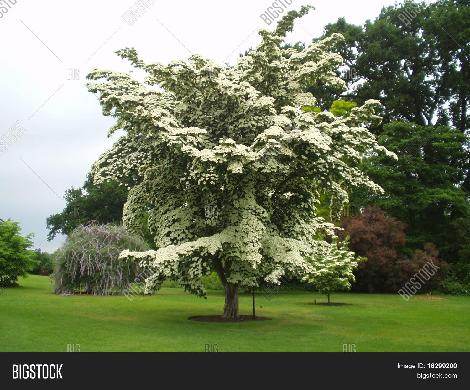 cornus kousa chinensis flower rhs image photo bigstock. Black Bedroom Furniture Sets. Home Design Ideas