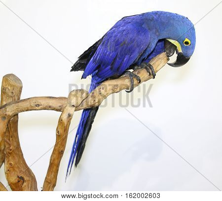 Colorful parrot landed on branch isolated on white