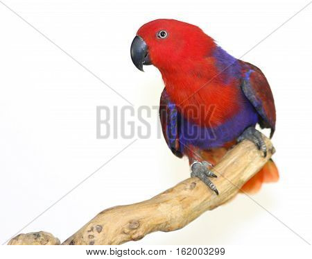 Colorful parrot landed on branch isolated on white Eclectus parrot
