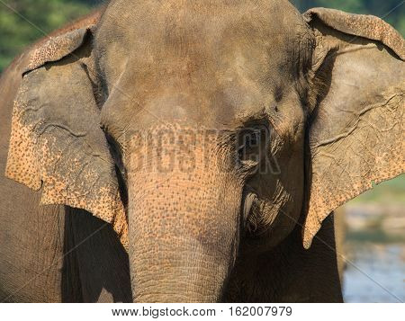 Portrait of asian elephant - Elephas maximus