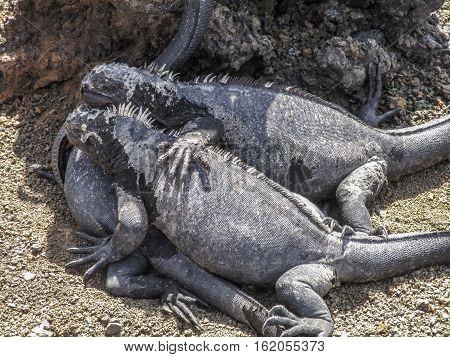Marine iguanas on Santiago Island in Galapagos National Park Ecuador. Marine iguana is found only on the Galapagos Islands