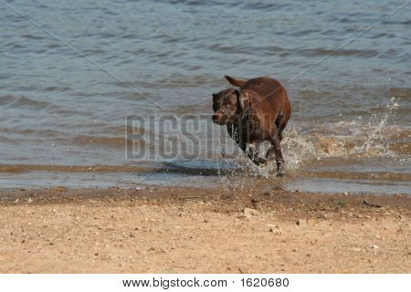 Brown dog running out of the water.