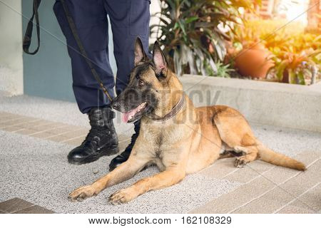 awareness k 9 alsatian dog crouch and looking beside law enforcement trainer with flare and vintage style