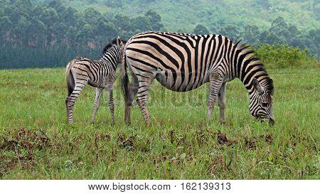 Zebras in Swaziland. Mammals in wildlife and wild nature. Africa