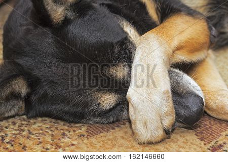 Sheep dog covering her nose with her paw