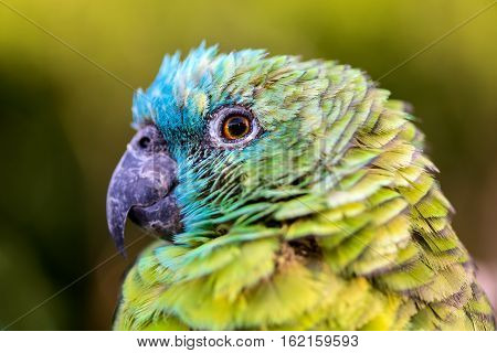 The blue-fronted amazon, also called the turquoise-fronted amazon and blue-fronted parrot, is a South American species of amazon and one of the most common parrots kept in captivity as a pet.