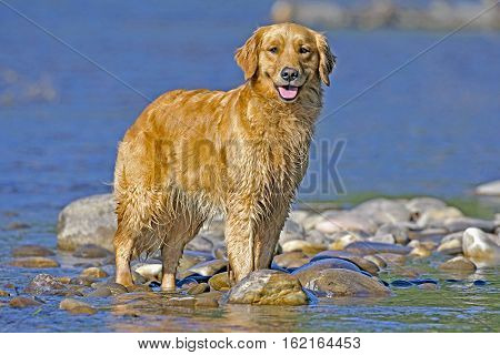 Golden Retriever cooling off in a river on a hot summer day.