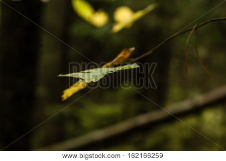 Lonely autumn  hazel leaf  in a forest. Corylus