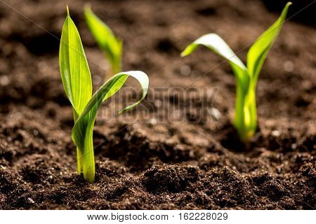 Concept appearance of life - sprout from soil close up.