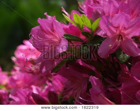 Azalea In Hot Pink Blooms, With Green