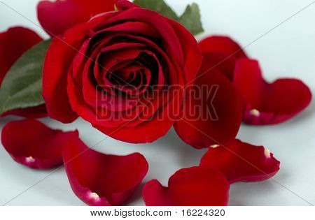 Close up of red rose with petals