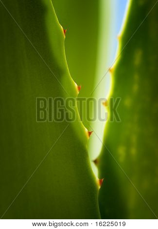 Green Agave cactus nature spa background