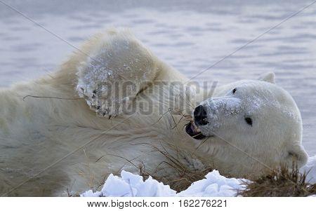 Polar bear enjoys