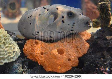 Black Spotted Pufferfish in Water in an Aquarium