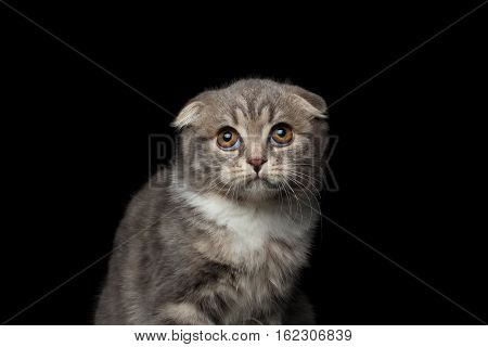 close-up cute little kitty scottish fold breed with tabby, pityful looking up on isolated black background