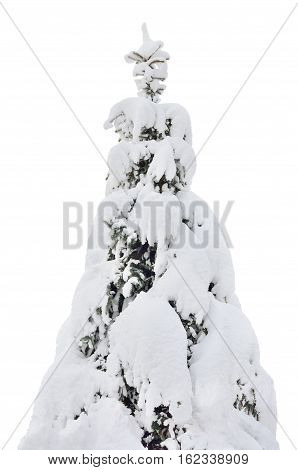 Snowy spruce fir tree closeup, fresh snow covered branches, large detailed isolated vertical