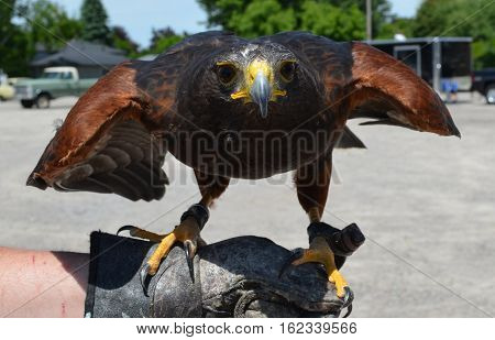 Bird of Prey, Hawk, used for clearing pigeons from runways to keep planes clear of birds