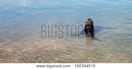 California Sea Lion bellowing in marina in Cabo San Lucas Baja Mexico BCS