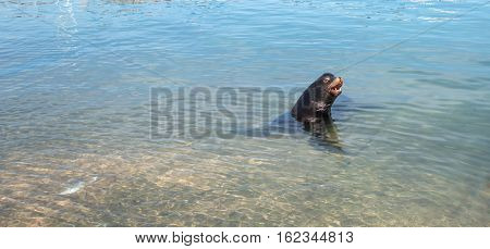 California Sea Lion in marina in Cabo San Lucas Baja MEX