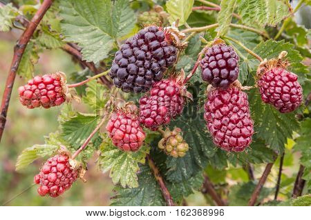 closeup of boysenberry bush with ripening berries