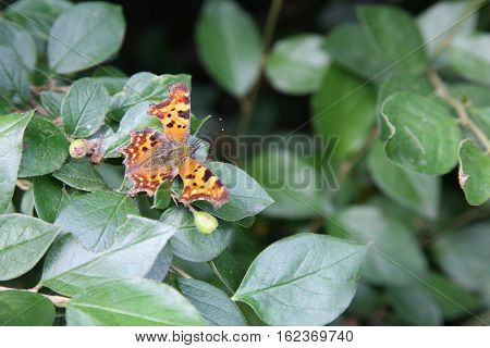Beautiful butterfly Polygonia c-album resting in the sun on a leaf