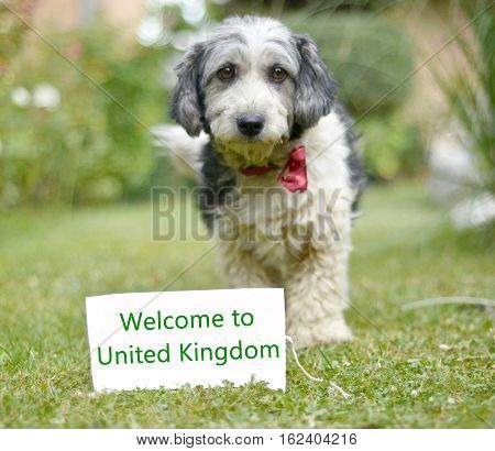 picture of a The cute black and white adopted stray dog on a green grass. focus on a head of dog. Text welcome to UK